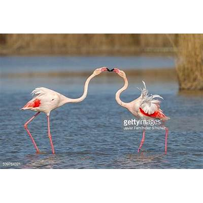 Greater Flamingo Stock Photos and PicturesGetty Images