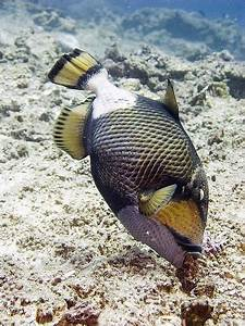Trigger Happy- Diving With The Feisty Titan Triggerfish