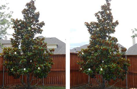 southern magnolia facts dd blanchard southern magnoila tree fannin tree farm dallas tx