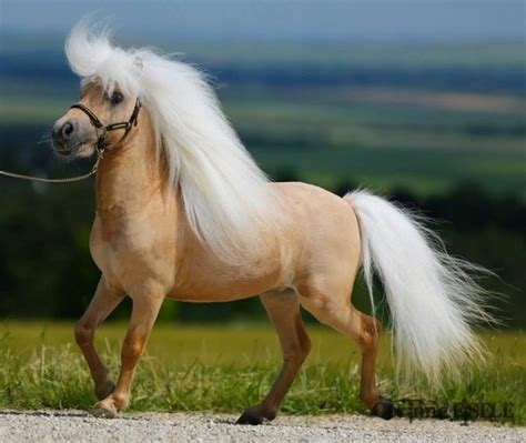 horse miniature palomino pony horses shetland ponies most pretty mane mini facts american interesting tiny origin animals stallion minature around