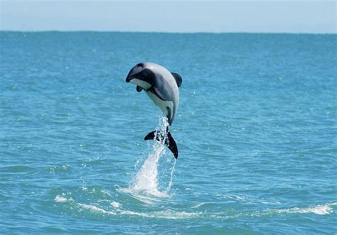 chance  save  worlds littlest dolphin cosmic
