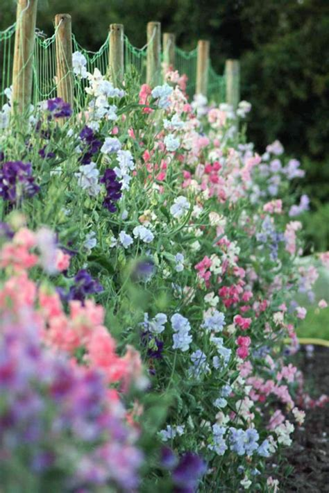 when to plant sweet peas outside the 25 best sweet peas ideas on pinterest sweet pea plant sweet pea flowers and sweet