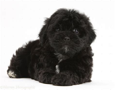 Dog Black Pooshi Poodle X Shih Tzu Pup Photo Wp18791