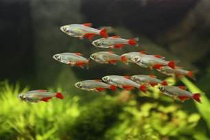 bloodfin tetra information