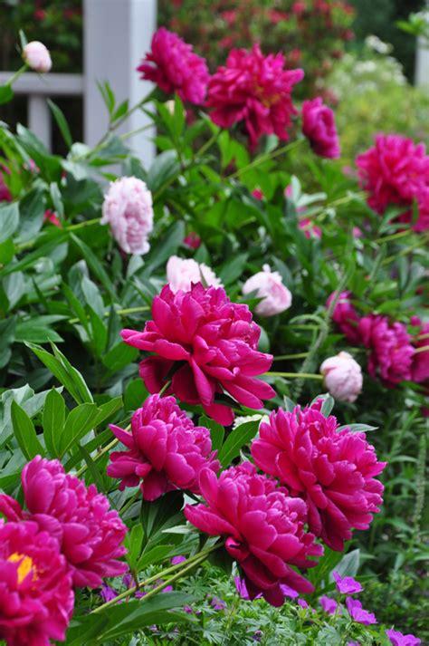 growing peony flowers fall peony planting hometalk