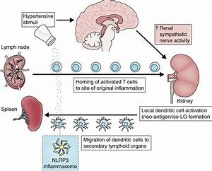 The Immunology Of Hypertension