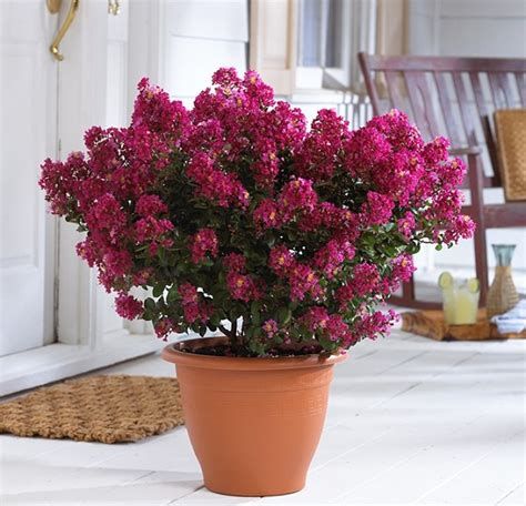44 best shrubs for containers best container gardening plants page 4 of 4 balcony garden web
