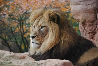 Lion 4k Animal Animals Wild Wallpapers Wildlife