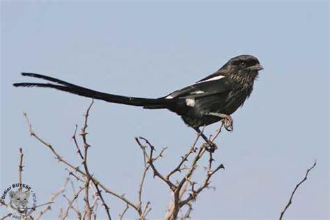 clic clac noir et blanc magpie shrike