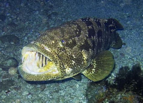 grouper fish groupers wikipedia garoupa species malabar wiki serranidae found host