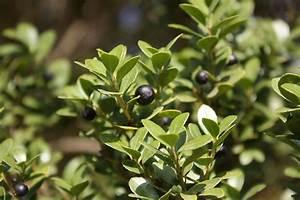 Ilex Crenata Krankheiten : ilex crenata shrub and vine seeds box leaved holly japanese holly seeds for sale tree ~ Orissabook.com Haus und Dekorationen