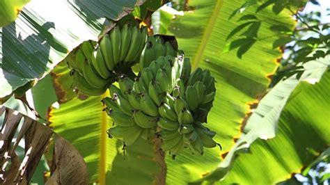 'โรคเหี่ยว'กล้วยยืนต้นตายทำชาวสวนอ่วมต้องโค่นทิ้งทั้งหมด