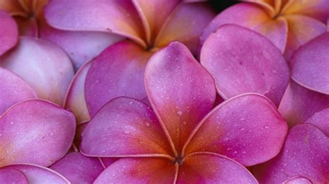 Wallpaper-plumeria-hawaii-pink-flowers-flower-hawaiian-wallpapers-pic-wsw20713633