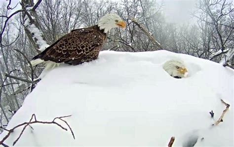nesting bald eagles protect eggs   covered