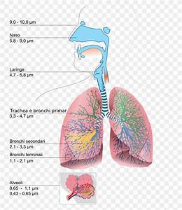 Respiratory System Human Lungs Diagram