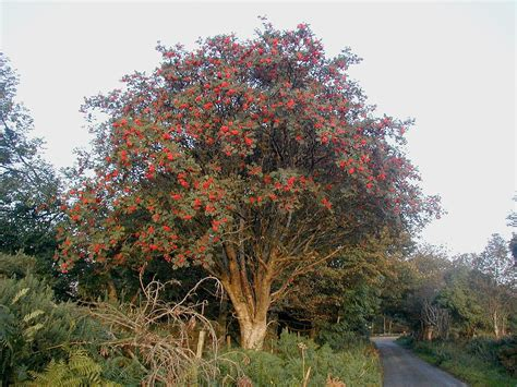 List Of Trees Of Great Britain And Ireland