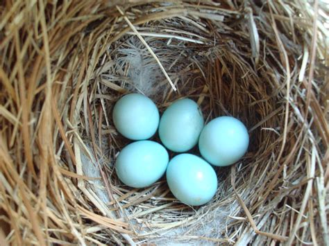 what color are bluebird eggs blue bird eggs