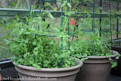 Growing Vegetables In A Greenhouse  Lettuce, Peas, Lemons