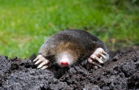 Moles And Gophers In Your Garden  Design Build Planners