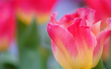 Pink Tulip Backgrounds by Yellow Pink Tulip Hd Desktop Wallpapers 4k Hd