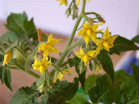 Tomato Plant with Yellow Flowers