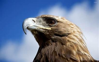 Eagle Golden Wallpapers Animals Fanpop