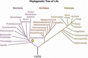 Deeply Branching Bacteria