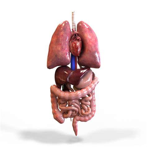 human organ diagram   front view  diagrams