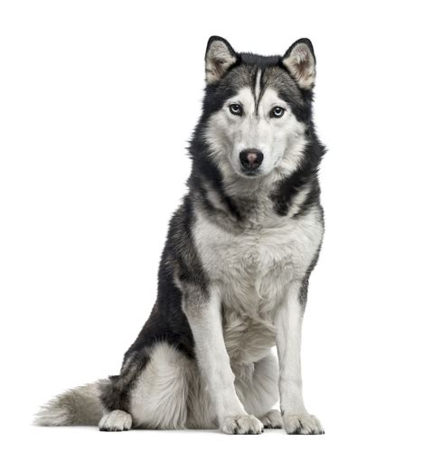 Claims over dog bites rose over the year, which is why insurance companies made amendments to their policies. The Prohibited Lists: Home Insurance Dog Breed Restrictions