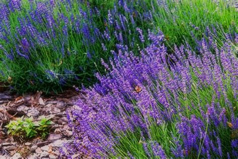 lavender insect repellent plants top 28 lavender mosquito 9 plants that repel mosquitoes 12 easy to grow natural mosquito