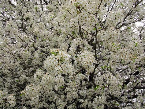white flowering trees file white flowering pear west virginia forestwander jpg
