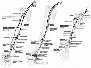 Nerve Pathway Of Upper Extremity