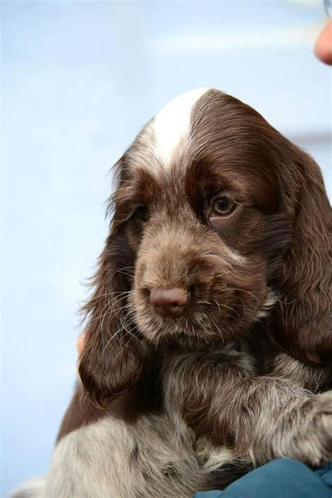 Besters Spaniels Images On Pinterest American
