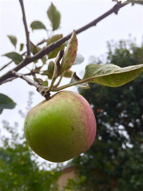 What Is A Gravenstein Apple: Learn About Gravenstein Apple ...