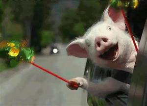 Pig is Excited [hilarious gif] | Furry Talk