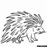 Porcupine Coloring Drawing Animals Line Printable Animal Thecolor Easy Drawings Getdrawings General Preschool Results Getcolorings Michigan University Got sketch template