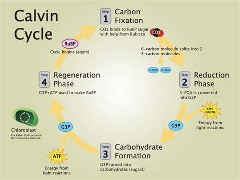 calvin cycle national geographic society