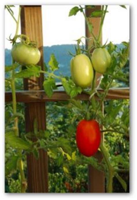 fertilizing tomatoes tomato fertilizer   fertilize