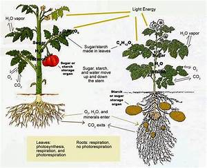 Plant Physiology Quiz on Respiration in Plants | Biology ...