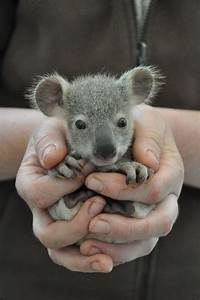 Koala Joeys Galore for Australia's Dreamworld - ZooBorns