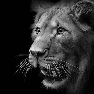 Portrait Of Lion In Black And White II Photograph by Lukas