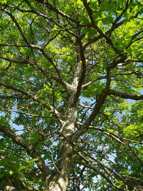 quercus muehlenbergii tree seeds chinquapin oak