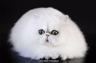 allevamento gatti persiani roma allevamento gatti persiani roma specchio dell anima di