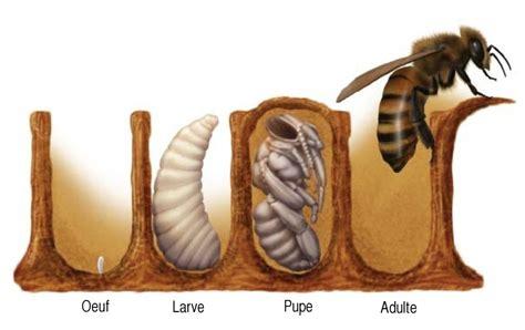le cycle de vie des abeilles le blog de luberon apiculture