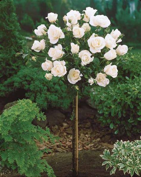 planter rosier en pot le 231 on de jardin comment planter ses rosiers conseils et astuces
