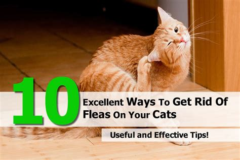 getting rid of fleas on cats 10 excellent ways to get rid of fleas on your cats