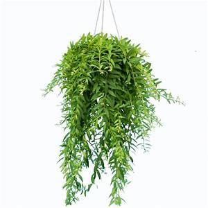 Suspension Plante Interieur : aeschynanthus japhrolepis suspension 14 cm hauteur avec pot 35 cm gamm vert ~ Preciouscoupons.com Idées de Décoration