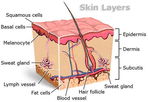 skin layers diagram skin pinterest diagram