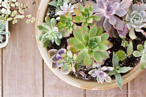 how to care for succulents in pots succulent care tips for growing succulents succulents and sunshine