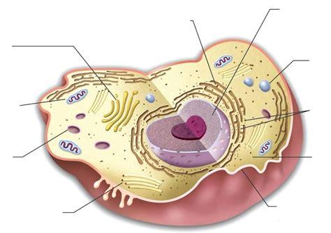 Diagram Blank Animal Cell Organelles Diagram